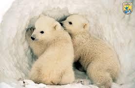 Image result for white bear animal
