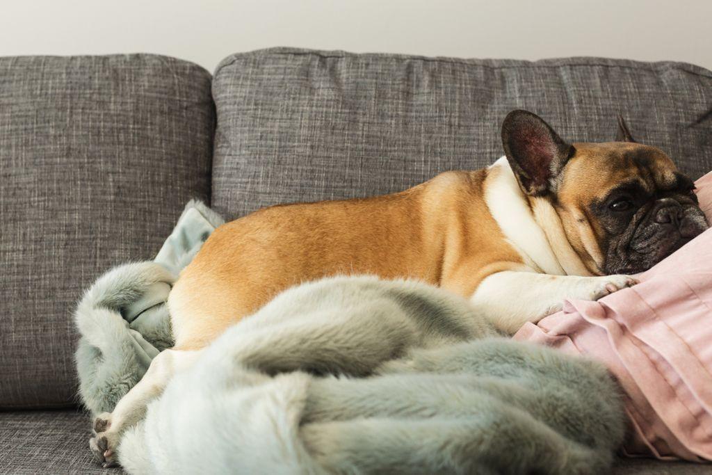 french-bulldog-gets-cozy-k9g2wahw