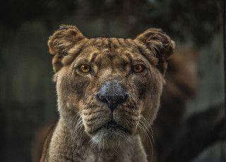 lion-69-crop-320x230-k25spja8