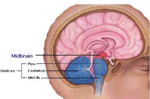Science & Medicine: Midbrain